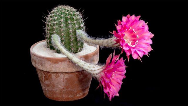 Cacti in Bloom still